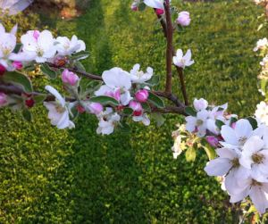 Our dwarf apple trees bursting into bloom